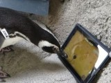 Picture: Вижте как пингвини играят на iPad (ВИДЕО)