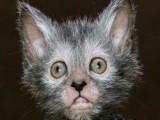 котка - върколак