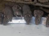 Picture: Ужас! Нашествие от грамадни плъхове!