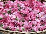 Picture: Казанлък: Започва брането на розите, очаква се силна реколта
