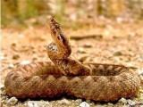 Picture: Змия пепелянка ухапа 13 - годишен младеж