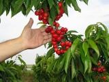 Picture: Жандармерия пази черешовата реколта