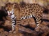 Ягуар избяга от зоопарка в Ловеч