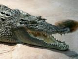 Picture: Крокодил плува в река Дунав
