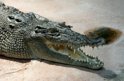 Крокодил плува в река Дунав
