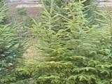 На три места в София приемат елхи и зелени отпадъци