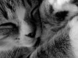 Въвеждат микрочип за котки