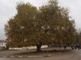"""Picture: Чинарът от Арчар е кандидат за """"Европейско дърво на годината 2015"""""""