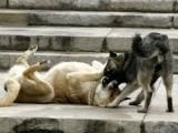 уличните песове