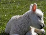 Овцевъдите искат държавата да позволи да продават директно агнешкото на свои пунктове