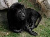 Черен лъв