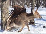Picture: Невероятно! Орел улови елен (ВИДЕО)
