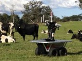 Picture: Уникално ВИДЕО! Робот-пастир пасе крави