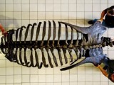 Скелет на гигантски динозавър