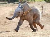 Picture: Слон се разхожда 2 часа в центъра на Рим