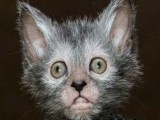 Picture: Уникална котка - ВЪРКОЛАК покори света! (ВИДЕО)