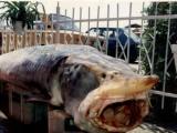 Грамадна риба