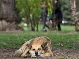 Picture: Чистят столицата от улични кучета
