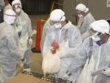 Picture: В Япония унищожиха хиляди домашни птици заради птичи грип