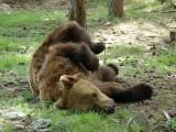 Бриджит Бардо спасява алкохолизирани мечки,
