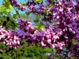 Дървото на Юда разцъфтя в Русе