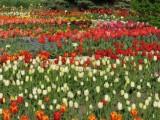 Picture: Парад на лалетата в ботаническата градина в Балчик