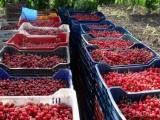 Черешите в България поскъпват 5 пъти от градината до магазина
